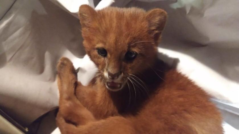 Joven rescata y cría a lo que creía era un gato, en realidad era un depredador salvaje(Fundación Argentina de Rescate Animal)