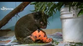 Muere koala rescatado durante incendios de Australia