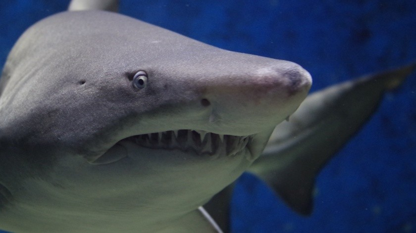 VIDEO: Tiburón blanco lucha por devorar pez gigante(Pixabay)