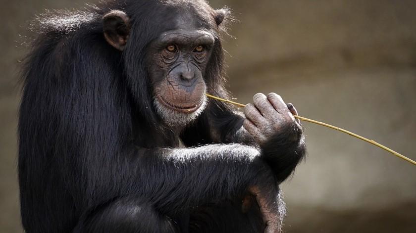 Chimpancé lava con esmero la ropa de su cuidador en un zoológico(Pixabay)