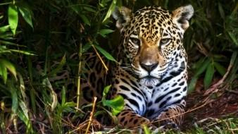 El jaguar sigue en peligro de extinción en México