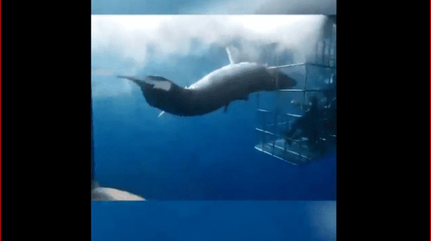 El tiburón blanco (Carcharodon carcharias) se encuentra catalogado como especie amenazada.