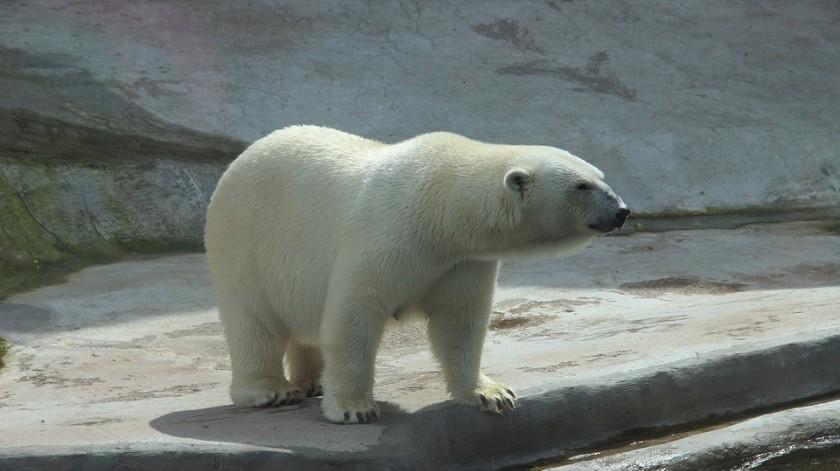 Casi todos los osos están delgados. Hay animales adultos y jóvenes, incluidos cachorros de diferentes edades con sus madres.(Ilustrativa.)