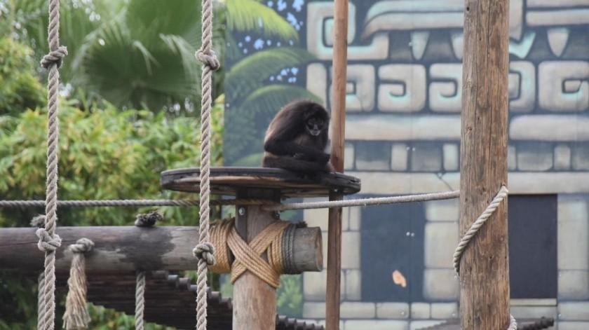 Un nuevo espacio en las instalaciones del Zoológico Parque del Niño Jersey, denominado Koatas, Archipiélago del Mono Araña, fue inaugurado ante la presencia del presidente municipal Armando Ayala Robles, el pasado fin de semana.(Cortesía)