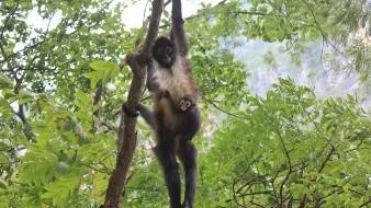 Tras 30 años, mono araña vuelve a nacer en el Cañón del Sumidero