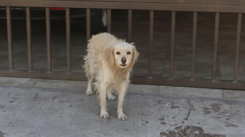 Aumentan los perros extraviados por pirotecnia.(Banco Digital)