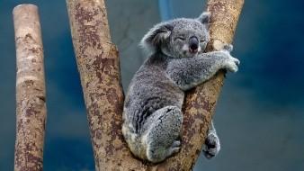 Miles de koalas podrían haber muerto tras incendio forestal en Sídney