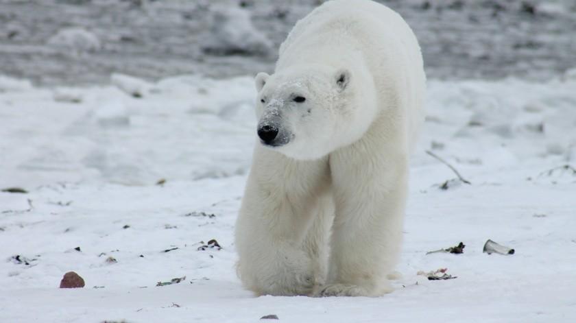 Los osos polares tienen tres párpados(Pixabay)