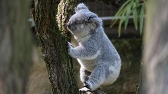 La infección de transmisión sexual que afecta a los koalas