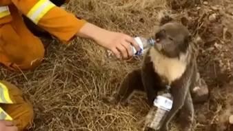 Koalas están en peligro pero no extintos: Universidad de Sydney