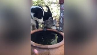 El perro de nombre Rusty y Cuasi el koala comparten el agua.