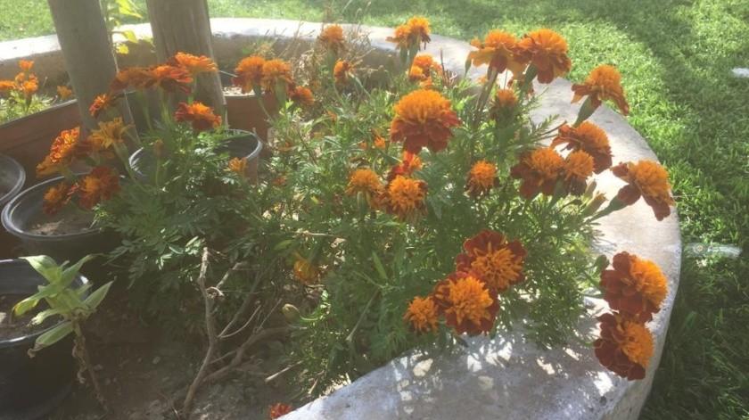 Flores de cempasúchil que sembró Manuel Mondragón Abdala.(Anahí Velázquez)