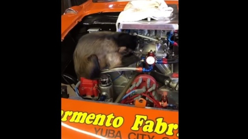 VIDEO: Tierno mono 'reparando' un auto se gana el corazón usuarios en redes