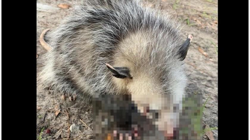 Agreden a zarigüeya bebé hasta dejarla ciega(Wildlife Rehab of Greenville)