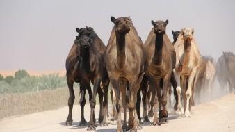 En toral serán 10 mil los camellos que serán sacrificados por tiradores profesionales ubicados en helicópteros.