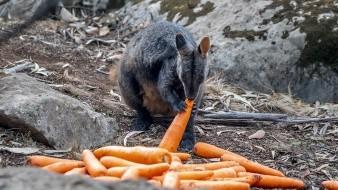 Australia está lanzando desde helicópteros miles de kilos de tubérculos para animales hambrientos como consecuencia de la destrucción de su hábitat por los incendios.