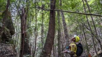 Empleados de la agencia inspeccionan pinos wollemia en el Parque Nacional Wollemi en Nueva Gales del Sur, Australia.