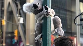 Koalas de peluche invaden Nueva York en solidaridad con incendios de Australia