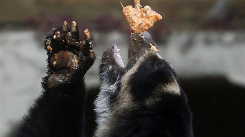 """Helados, abundante agua y baños refrescantes hacen parte de """"Frescura Salvaje"""", una actividad que los conservadores del Parque Zoológico Santa Fe de Medellín están aplicando en los animales para combatir la ola de calor.(EFE)"""