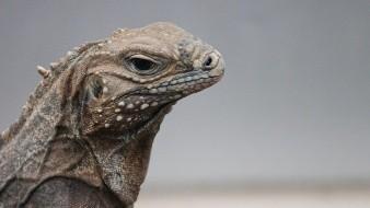 EU advierte que iguanas caerán de los árboles por el frío