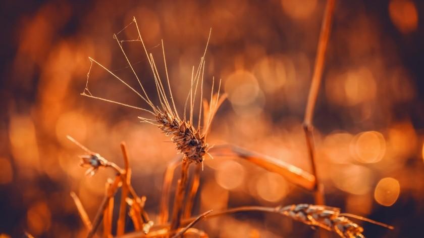 El Fonio es tan pequeño como un grano de arena, pero rico en proteínas y aminoácidos.(Pixabay)