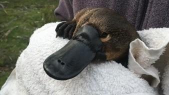 Estudio advierte extinción de ornitorrinco