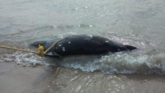 Encuentran lobo marino muerto en San Carlos