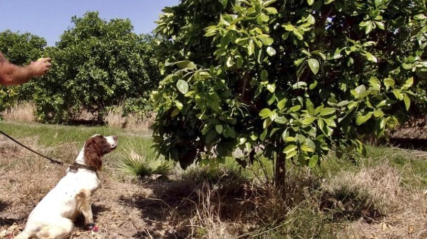 La enfermedad también ha afectado los cultivos de cítricos en América Central y del Sur y Asia.(AP.)