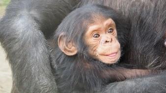 Deforestación y caza furtiva amenazan a chimpancés