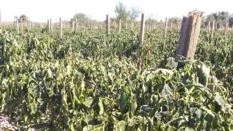 Daña intenso frío cultivos de Sonora; evalúan afectación