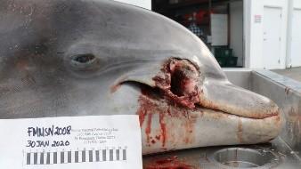 Florida: Buscan a responsable de matar a balazos a un delfín