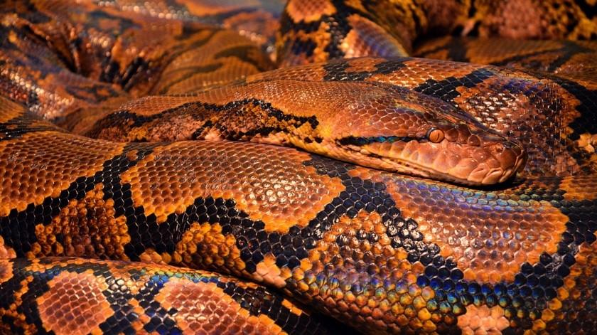 Irónicamente, en su reportaje la mujer aseveró que las serpientes le tienen más miedo a las personas que viceversa, cuando unos segundos antes estaba visiblemente asustada.(Pixabay.)