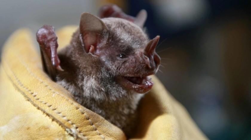 El investigador Rodrigo Medellín Legorreta descalificó las noticias alarmistas y precisó que provocan daños a la especie, por lo que llamó a no atentar contra estos mamíferos debido a la desinformación.(Agencia Reforma)