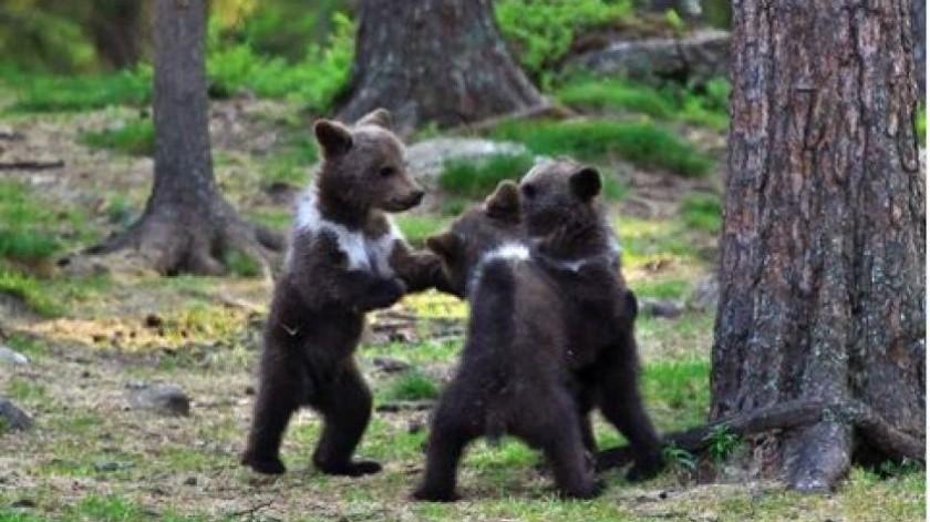 Captan a osos bailando en bosque de Finlandia(Tomada de red)