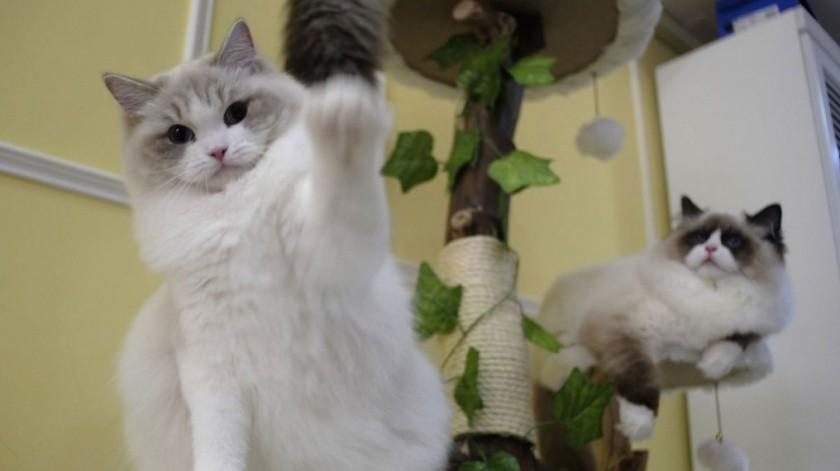 Celebra a tu gato en su día.(Tomada de la red)