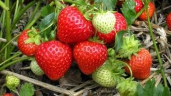 El cultivo de la fresa y otros berries como la zarzamora, el arándano y la frambuesa tuvieron en el ciclo agrícola 2019 una superficie cosechada de 3 mil 850 hectáreas.