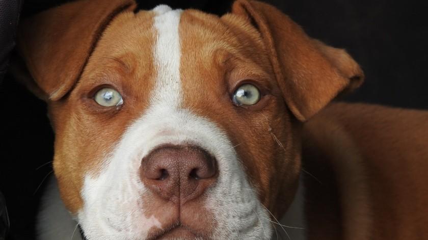 El material fue grabado por el dueño y mientras le hacia algunas preguntas el perro le aullaba a medida que la discusión avanzaba, incluso en algunas oportunidades sus aullidos eran más fuertes.(Pixabay.)