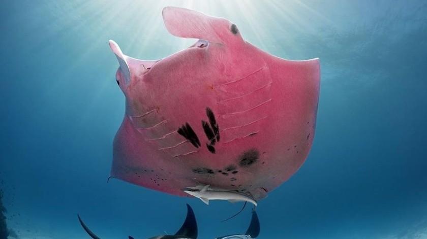Mantarraya rosa es captada cerca de una isla australiana