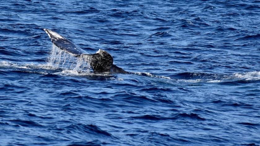El gigantesco cetáceo recorre miles de kilómetros para llegar a las cálidas aguas de Baja California a dar a luz a sus crías.