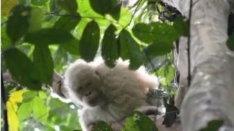 Fue puesta en libertad en una selva tropical de Borneo. El nombre del primate es Alba y fue devuelta hace más de año.