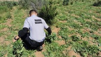 Destruyen 12 mil 600 plantas de aparente mariguana en Ejido Tecate