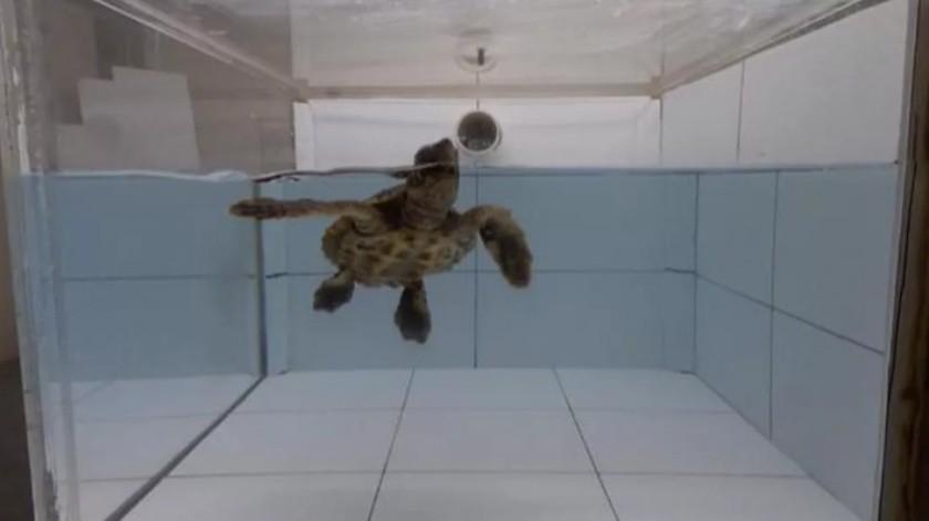 El plástico atrae a tortugas marinas porque huele a comida(Cnet)