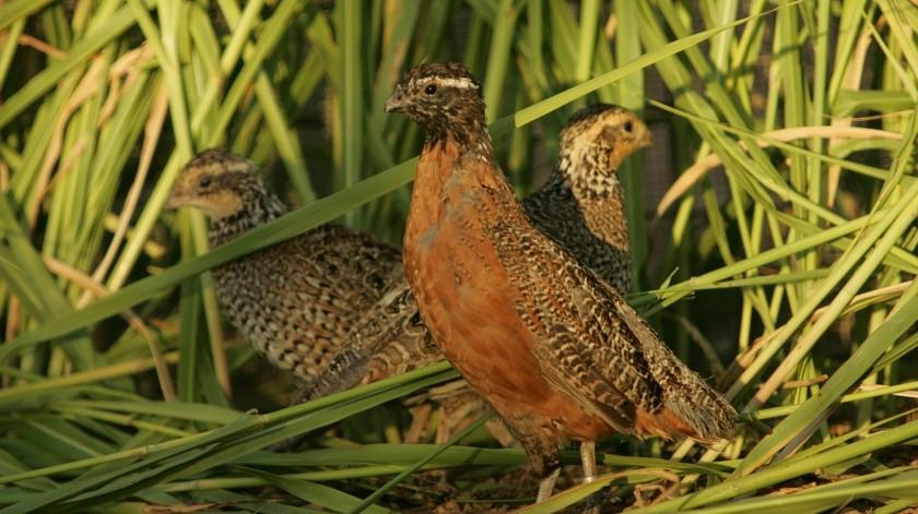 Dar reveló que el virus de la gripe aviar, la misma cepa que afectó a algunas granjas avícolas locales en 2017, se detectó en un criadero de codornices.(Pixabay)