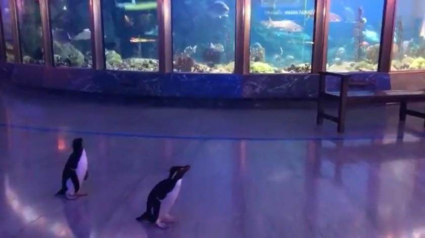 Pingüinos pasean oceanario vacío ante falta de visitantes por coronavirus(Twitter / @shedd_aquarium)