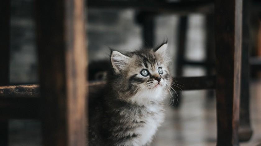 """La felina """"discute"""" con su reflejo al creer que estaba siendo atacada por otro animal. Solo se trataba de su imagen en el espejo.(Pixabay.)"""