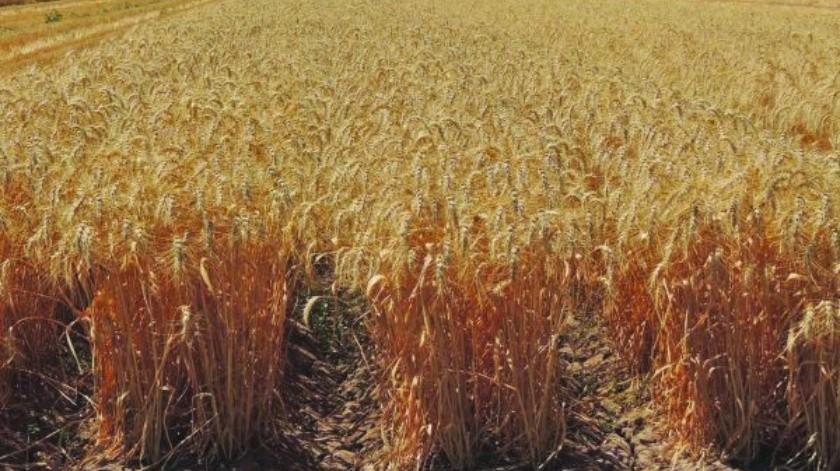 Nueva variedad del trigo harinero ayuda contra plagas