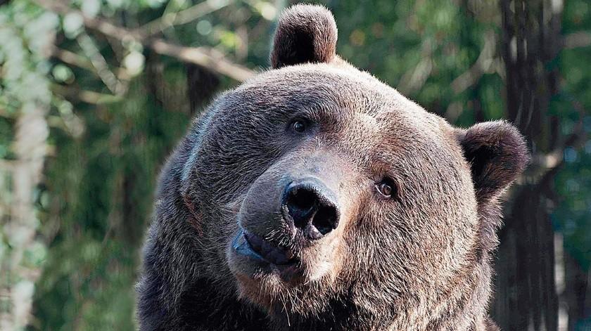 Captan a un oso paseando durante cuarentena(Tomada de la red)