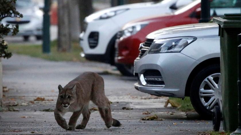 Puma deambula por las calles de Santiago de Chile en plena cuarentena(Andres Pina / Reuters)
