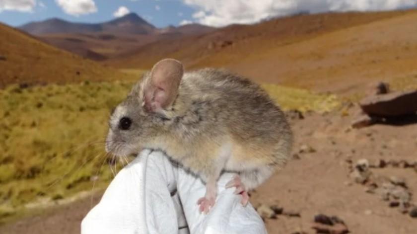 Encuentran al primer mamífero capaz de habitar a más de 6.700 metros de altura(Marcial Quiroga-Carmona)