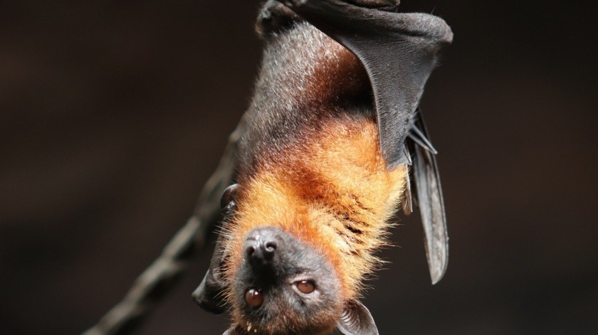 Las autoridades pidieron a los pobladores a que no atacaran a los murciélagos, ya que si deseaban espantarlos bastaba con darles luz.(Pixabay)